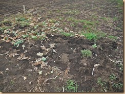 04整理した芽キャベツ畑17-3-31