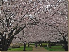 01引地川親水公園の桜17-4-10