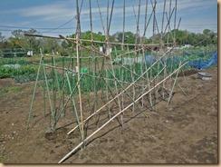 01ヤマトイモの植付け17-4-20