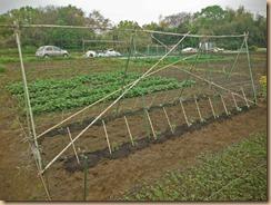 01トマト・キュウリ苗の植付け17-4-22