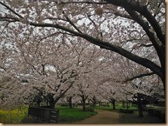 02引地川親水公園の桜17-4-10