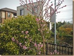 02桃の開花17-4-6