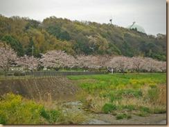 03引地川親水公園の菜の花17-4-10