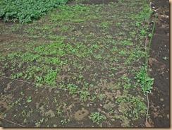 01雑草整理前のサトイモ畑17-5-16