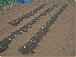 01サツマイモの植付け17-5-1