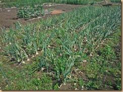 01収穫前のタマネギ畑17-5-30