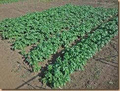 01芽掻き前のジャガイモ畑17-5-5