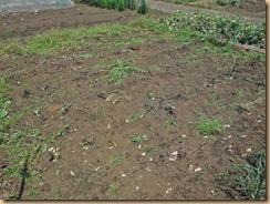 02収穫整理後の跡地17-5-21