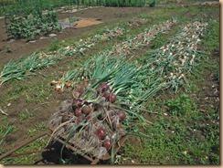 02収穫したタマネギ17-5-30