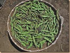 03収穫したソラマメ17-5-21