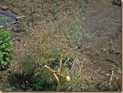 05自家採種したノラボウ菜17-5-22