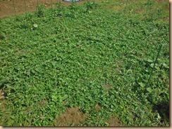 01雑草整理前のオクラ畑17-6-10