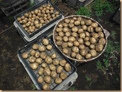 01ジャガイモの収穫17-6-19