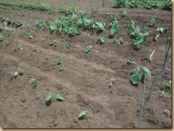 01サトイモ施肥土寄せ17-6-20