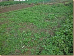 01雑草整理前のカボチャスイカ畑17-6-4
