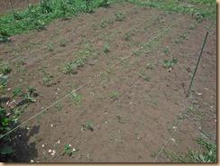 02雑草整理後のオクラ畑17-6-10