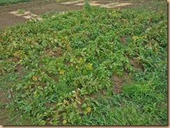 03収穫前のジャガイモ畑17-6-12