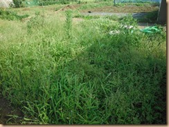 01雑草整理前のラッキョウ畑17-7-12
