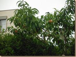 01収穫前の桃17-7-23