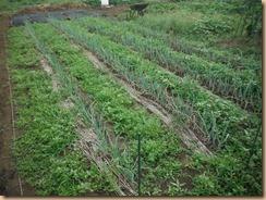 01雑草整理前の長ネギ畑17-7-31