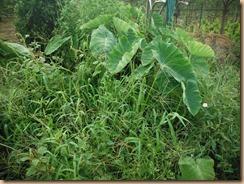 01雑草整理前のサトイモ畑17-8-3