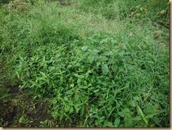 02雑草整理前のザル菊畑