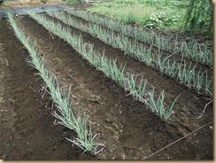 03施肥・土寄せ後の長ネギ畑17-7-31