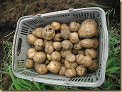 03収穫したジャガイモ17-8-22