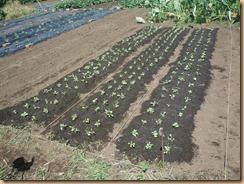 01チンゲン菜植付け17-9-21