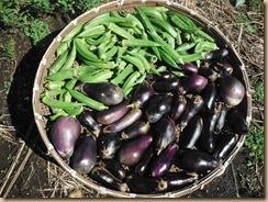 06オクラ・ナスの収穫17-9-18