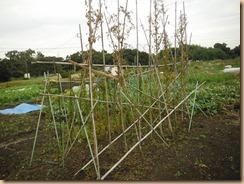 01強風に耐えたヤマトイモ支柱17-10-24