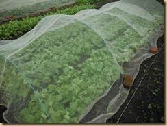 03チンゲン菜17-10-24