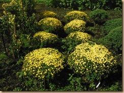 05ザル菊黄の開花17-10-18