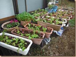 01サラダ菜苗をコンテナに植え替え17-11-12