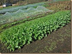 03収穫前のノラボウ菜17-11-24