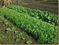 04収穫前の水菜17-11-24