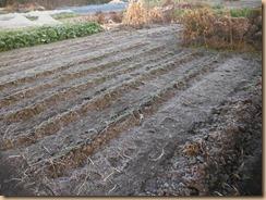 01ラッキョウ畑に霜17-12-8