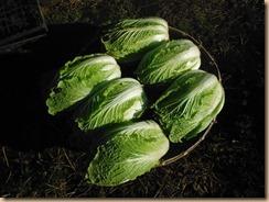 02白菜の収穫17-12-13