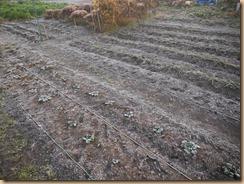 02タアサイ畑に霜17-12-8