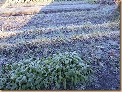 01初霜が降りた畑2018-12-19